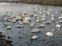 松川の白鳥146羽1.jpg
