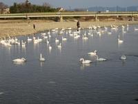 松川の白鳥146羽2.jpg