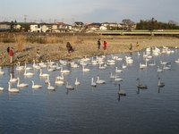 松川の白鳥146羽5.jpg