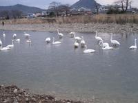松川の白鳥41羽1.jpg