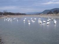 松川の白鳥41羽2.jpg