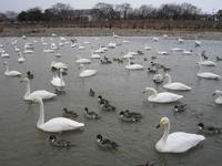 松川の白鳥200羽1.jpg
