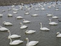 松川の白鳥200羽2.jpg