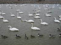 松川の白鳥200羽3.jpg
