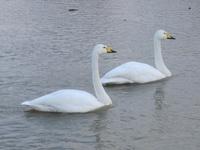 松川の白鳥7羽2.jpg