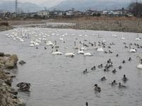 松川の白鳥220羽1.jpg