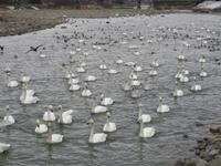 松川の白鳥220羽2.jpg
