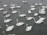 松川の白鳥220羽3.jpg