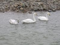 松川の白鳥3羽.jpg