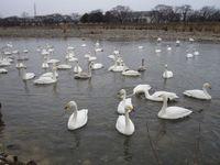 松川の白鳥102羽1.jpg
