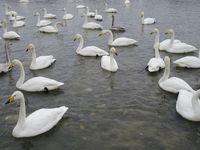 松川の白鳥102羽2.jpg