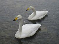 松川の白鳥3.jpg