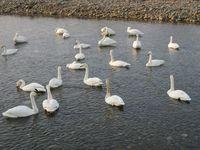 松川の白鳥131羽1.jpg