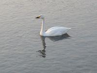 松川の白鳥4.jpg