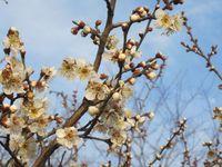 梅の花2.jpg