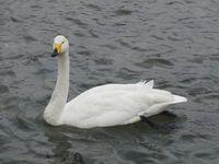 松川の白鳥1.jpg