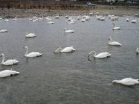 松川の白鳥144羽1.jpg