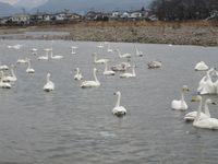 松川の白鳥144羽2.jpg