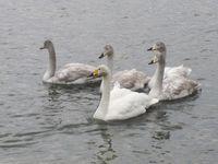 松川の白鳥2.jpg