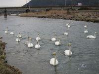 松川の白鳥22羽1.jpg