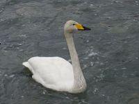 松川の白鳥22羽2.jpg