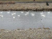 松川の白鳥22羽3.jpg