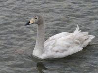 松川の白鳥5.jpg