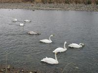 松川の白鳥8羽1.jpg