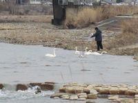 松川の白鳥8羽2.jpg