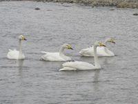 松川の白鳥8羽3.jpg