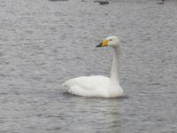 松川の白鳥8羽4.jpg