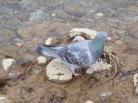 松川の白鳥8羽ハト1.jpg