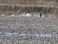 松川の白鳥138羽1.jpg