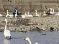松川の白鳥138羽2.jpg