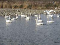 松川の白鳥138羽3.jpg