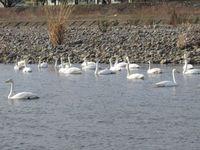 松川の白鳥138羽4.jpg