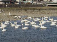 松川の白鳥138羽5.jpg