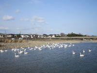 松川の白鳥138羽6.jpg