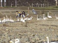 松川の白鳥138羽7.jpg