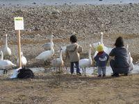 松川の白鳥138羽9.jpg