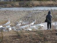 松川の白鳥138羽a.jpg
