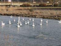 松川の白鳥21羽1.jpg