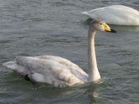 松川の白鳥21羽3.jpg