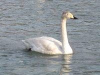 松川の白鳥21羽6.jpg