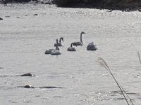 松川の白鳥7羽1.jpg