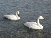 松川の白鳥7羽3.jpg