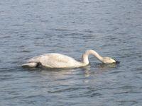 松川の白鳥7羽4.jpg