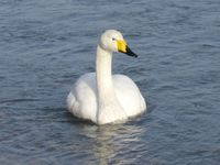 松川の白鳥7羽5.jpg