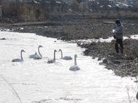 松川の白鳥7羽6.jpg