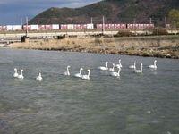 松川の白鳥13羽1.jpg